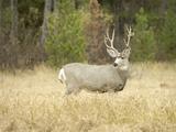Rocky Mountain Mule Deer Buck on a Rainy Fall Day  Odocoileus Hemionus  Wyoming  Wild