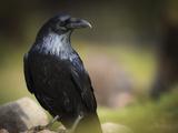 Common Raven  Corvus Corax  West Yellowstone  Montana  Wild