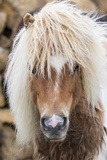 Shetland Pony on the Island of Unst  Part of the Shetland Islands in Scotland