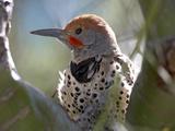 Northern Flicker Woodpecker  Usa