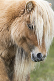 Shetland Pony on the Island of Foula  Part of the Shetland Islands in Scotland