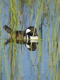 Hooded Merganser  Lophodytes Cucullatus  Viera Wetlands  Florida  Usa