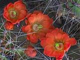 Claret Cup Cactus  Texas  Usa