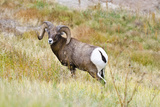 South Dakota  Badlands National Park  Full Curl Bighorn Sheep Grazing Along Roadway