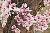 Yulan Magnolia Tree Blossoms  Louisville  Kentucky