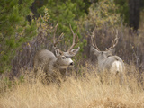 Rocky Mountain Mule Deer Bucks  Odocoileus Hemionus  Wyoming  Wild