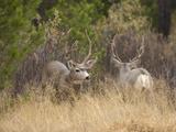 Rocky Mountain Mule Deer Bucks  Odocoileus Hemionus  Wyoming  Wild