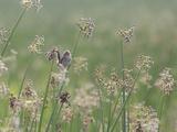Washington State  Ridgefield National Wildlife Refuge Marsh Wren Singing on Reed