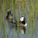 Pair of Hooded Mergansers Viera Wetlands  Florida  Usa