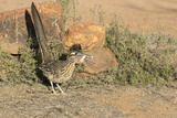 Arizona  Amado Greater Roadrunner with Lizard