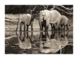 African elephants  Okavango  Botswana