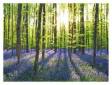Beech forest with bluebells  Belgium