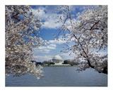 Jefferson Memorial with cherry blossoms  Washington  DC