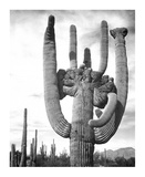 Saguaro National Monument, Arizona, ca. 1941-1942 Reproduction d'art par Ansel Adams