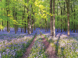 A Bluebell Path