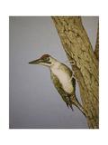 Green Woodpecker  2016