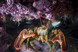 A Lobster Rests on the Seafloor Off Bonaventure Island in the Gulf of Saint Lawrence