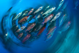 A School of Pinjalo Snappers Can Quickly Change Colors