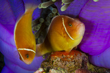 A Pink Anemonefish Fans the Eggs His Mate Has Laid  Keeping the Nest Free of Sediment