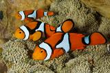 Clownfish Rest Inside their Host Anemone