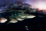 Lemon Sharks on Patrol at Sunset in the Bahama Banks