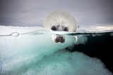 From a Greatly Diminished Ice Pack  a Harp Seal Pup Watches its Mother Swim Underwater