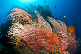 Fish Swim over the Branches of Red Whip Coral on Kimbe Bay's Susan's Reef