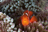 An Anemonefish Inside its Host Sea Anemone on Three Sisters Reef