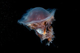 Portrait of a Lion's Mane Jellyfish  Cyanea Capillata  with a Butterfish Caught in its Tentacles