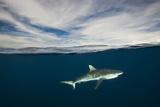 A Grey Reef Shark Swims in Kimbe Bay
