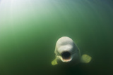 A Beluga Whale Swims in Saguenay Saint Lawrence Marine Park
