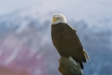 A Portrait of an American Bald Eagle  Haliaeetus Leucocephalus