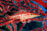 A Longnose Hawkfish in Gorgonian Coral on Ann Sophie's Reef in Kimbe Bay