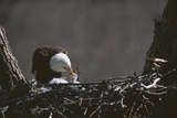 An American Bald Eagle Feeds its Chick