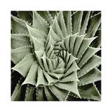 Green Succulent I