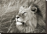 African lion  Masai Mara  Kenya