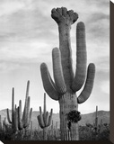 Full view of cactus with others surrounding  Saguaros  Saguaro National Monument  Arizona  ca 1941