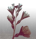 Ombre Freesia Flowers X-Ray