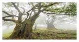 Laurel forest in fog  Madeira  Portugal