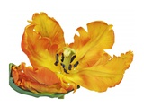 Parrot tulip close-up