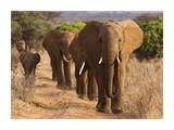 Herd of African Elephants  Kenya