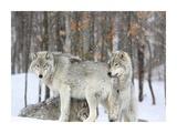 Grey wolves huddle together during a snowstorm  Quebec