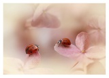 Ladybirds On Pink Hydrangea