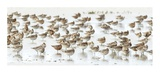 Bar-Tailed Godwit 19