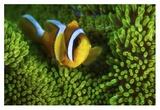 Yellow Clownfish On Green Anemon