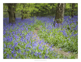 Bluebell Walk II