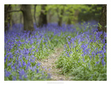 Bluebell Walk I