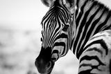 Zebra II Tableau sur toile par Beth Wold