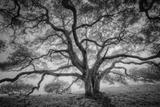 Majestic Old Oak, Black and White, Petaluma Northern California Tableau sur toile par Vincent James