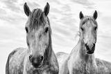 White Horses, Camargue, France Tableau sur toile par Nadia Isakova